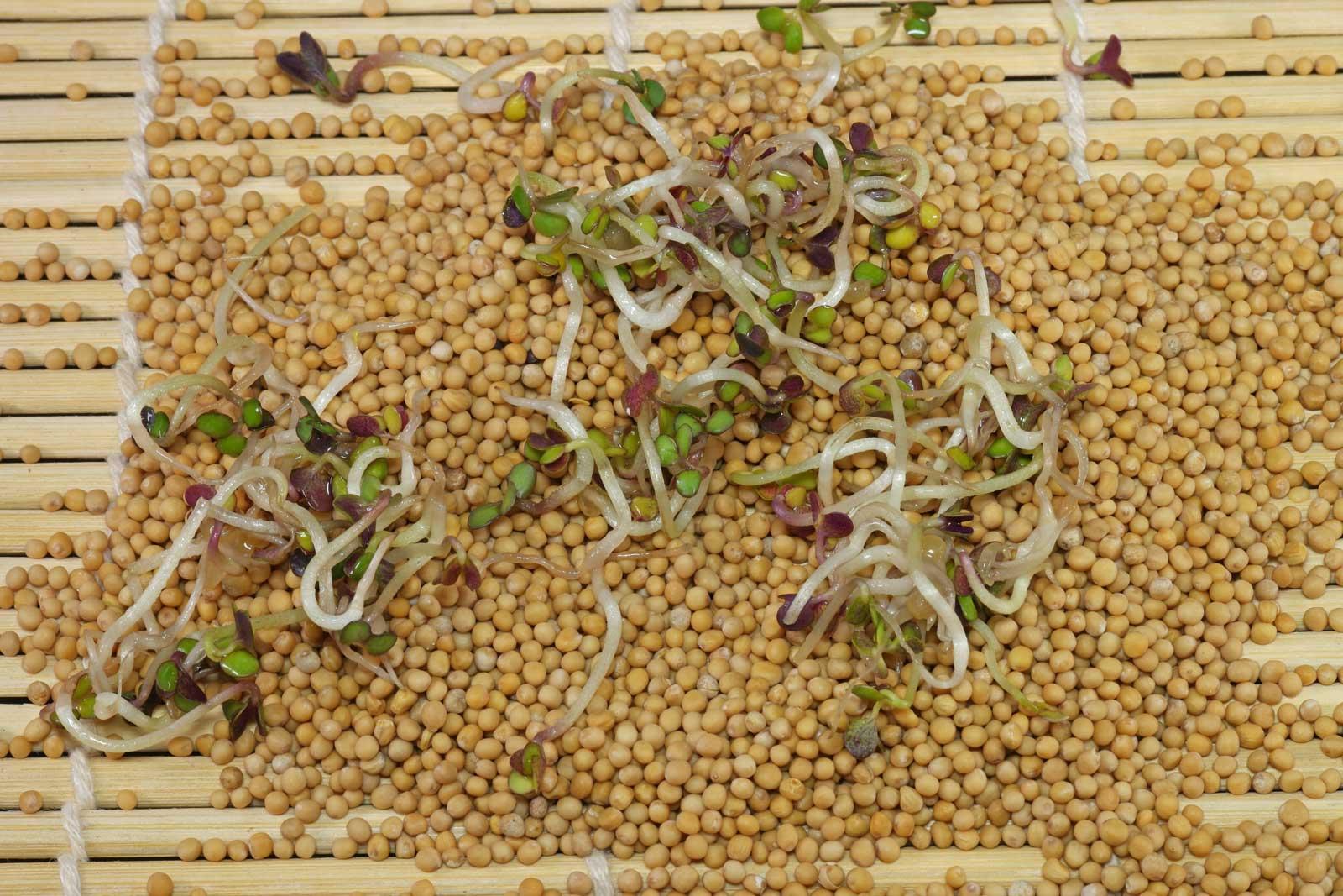 Weißer Senf Samen