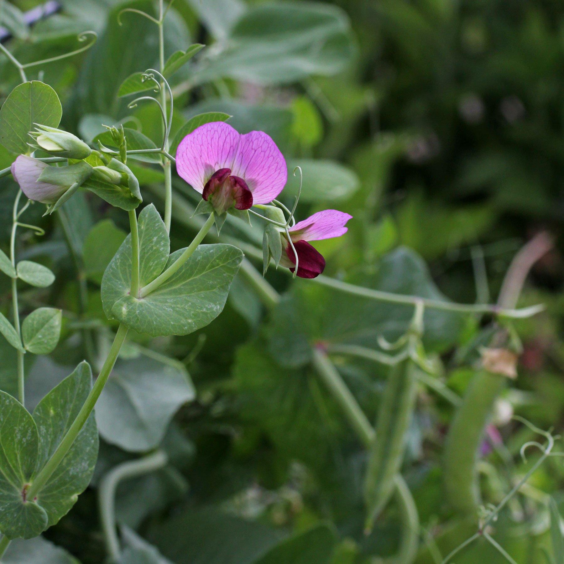 Erbsenpflanze